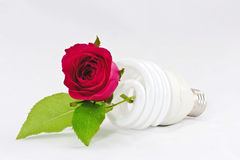Bulb and rose Stock Photo