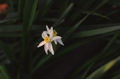 Bulb white flower Royalty Free Stock Photo