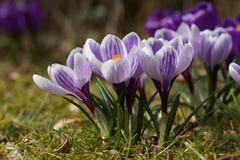 Bulbe à fleur de ressort de Pickwick de crocus dans la pelouse Photo libre de droits