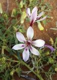 Bulbes à fleur Images stock