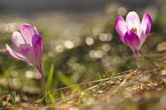 Bulbi da fiore della primavera del fiore porpora del croco Immagine Stock Libera da Diritti