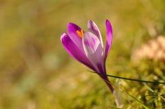 Bulbi da fiore della primavera del fiore porpora del croco Fotografia Stock