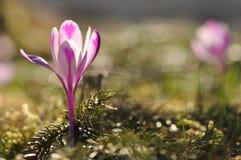 Bulbi da fiore della primavera del fiore porpora del croco Fotografie Stock