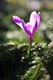 Bulbi da fiore della primavera del fiore porpora del croco Immagini Stock Libere da Diritti
