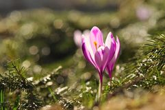 Bulbi da fiore della primavera del fiore porpora del croco Immagini Stock