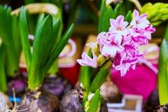 Bulbi germogliati in un secchio verde Germogli pronti per la piantatura nella terra fotografia stock libera da diritti
