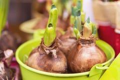 Bulbi germogliati in un secchio verde Germogli pronti per la piantatura nella terra fotografia stock