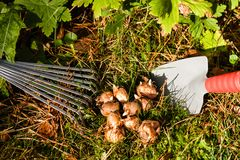 Bulbi nel giardino Fotografia Stock Libera da Diritti