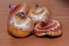 Bulbi per la piantatura, bulbi germogliati di gladiolo immagini stock