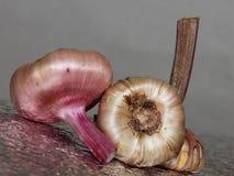 Bulbi per la piantatura, bulbi germogliati di gladiolo fotografia stock libera da diritti