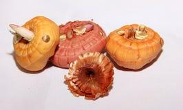 Bulbi per la piantatura, bulbi germogliati di gladiolo fotografie stock libere da diritti