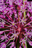 Bulbi porpora dell'allium fotografia stock