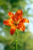 Bulbiferum лилии стоковые фотографии rf