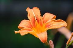 Bulbiferum лилии, общие имена оранжевая лилия, лилия огня и лилия тигра, оранжевый wildflower blossoming на луге стоковая фотография rf