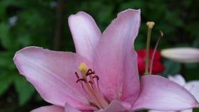 Bulbiferumen för rosa färgväxtLilium specificerar längd i fot räknat för närbilden HD - örtartad video för blomma för tigerlilja arkivfilmer
