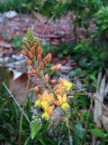 Bulbine frutescens Plant Blossoming in Garden. Royalty Free Stock Photography