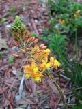 Bulbine frutescens Plant Blossoming in Garden. Royalty Free Stock Photo