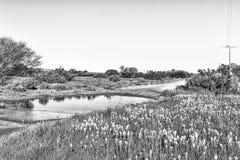 Bulbinellas i bród w drodze przy Willemsrivier monochrom obraz stock