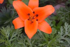 Bulbo de flor anaranjado del lirio asiático crecido fotos de archivo