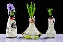 Bulbo de flor creciente del jacinto en crisol Foto de archivo libre de regalías