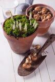 Bulbo de flores da mola Imagens de Stock Royalty Free