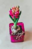 Bulbo de flores rojo del jacinto de la primavera en pote de cristal rosado en el fondo blanco beige natural, afición que cultiva  imagen de archivo