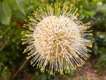 Bulbo de la planta tropical Fotografía de archivo libre de regalías