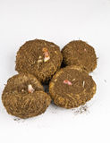 Bulbo de las begonias Imagen de archivo