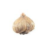 Bulbo del Ixia aislado en blanco Fotografía de archivo libre de regalías