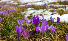Bulbo do açafrão, primeira flor da mola após a neve Imagem de Stock