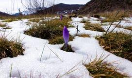 Bulbo do açafrão, primeira flor da mola após a neve Fotos de Stock Royalty Free