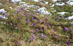 Bulbo do açafrão, primeira flor da mola após a neve Imagem de Stock Royalty Free