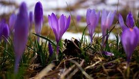 Bulbo do açafrão, primeira flor da mola após a neve Imagens de Stock