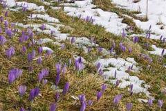 Bulbo do açafrão, primeira flor da mola após a neve Foto de Stock