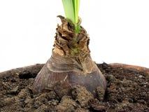 Bulbo do sprout verde fotografia de stock royalty free