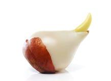 Bulbo do Tulip fotografia de stock royalty free