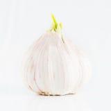 Bulbo emergente do alho Imagens de Stock Royalty Free