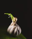 Bulbo fresco del ajo en la mirada oscura del vintage Imagenes de archivo