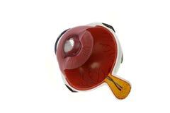 Bulbo oculare - sezione trasversale Fotografia Stock