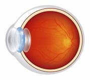 Bulbo oculare - sezione trasversale illustrata Immagini Stock Libere da Diritti