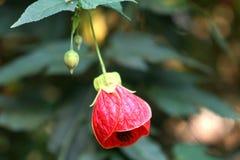 Bulbo rojo Fotografía de archivo libre de regalías