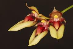 Bulbophyllum Стоковое фото RF