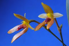Bulbophyllum cootesii. Beautiful orchid flower stock image