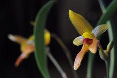 Bulbophyllum cootesii. Beautiful orchid flower stock photography