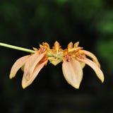 Bulbophyllum cumingii orchid Stock Photos
