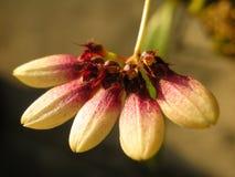Bulbophyllum Flabellum Zdjęcie Stock