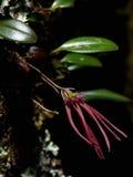 bulbophyllum nipondhii 免版税库存图片