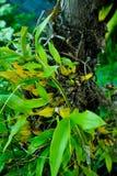 Bulbophyllum orchid Royalty Free Stock Photos