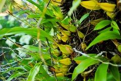 Bulbophyllum orchid Stock Images