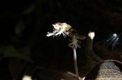 Bulbophyllum orkidé med naturbakgrund Arkivfoton